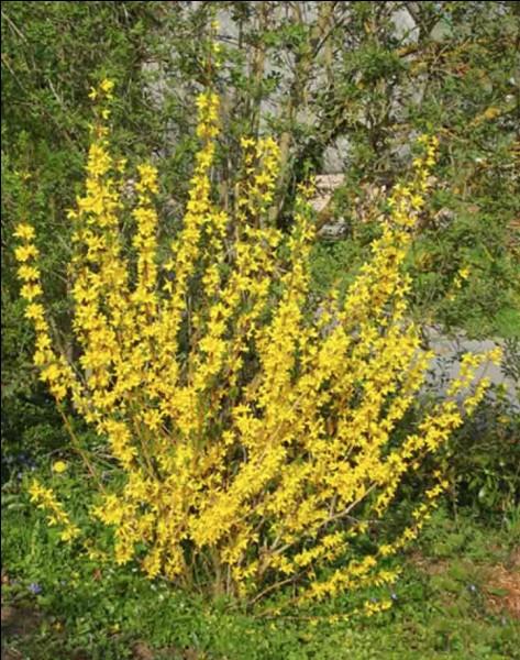 Quel est le nom de cet arbuste à fleurs jaunes ?