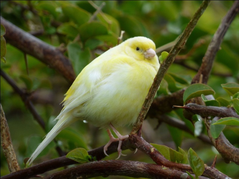 Quel est le nom de cet oiseau au plumage jaune ?