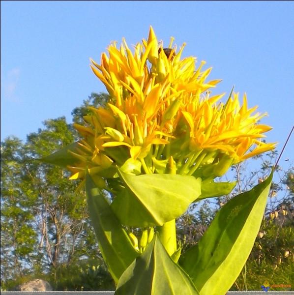 Quel est le nom de cette fleur sauvage jaune ?
