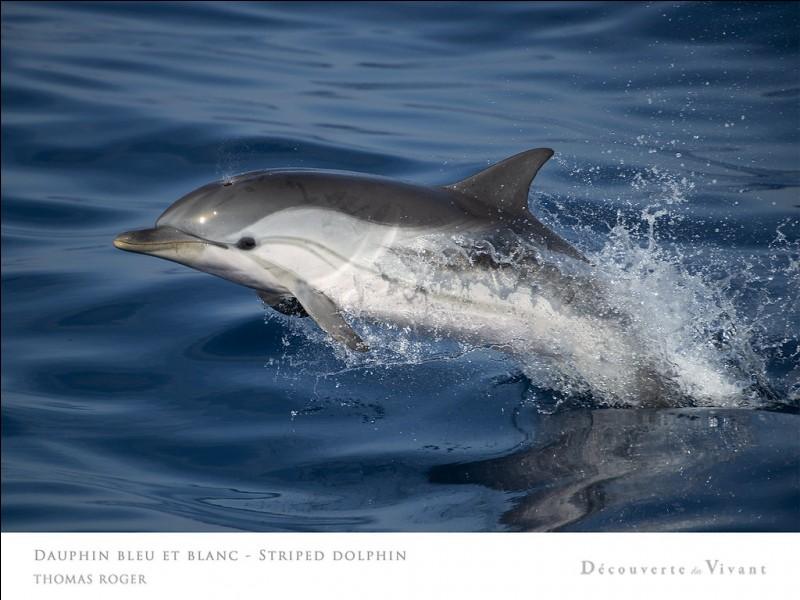 On peut trouver des dauphins communs à bec court en Méditerranée.