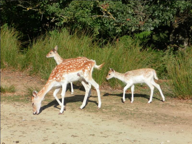 Le daim est moins rapides que ses cousins les chevreuils et les cerfs.