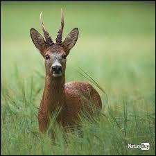 Un briard est un jeune cerf de moins d'un an.