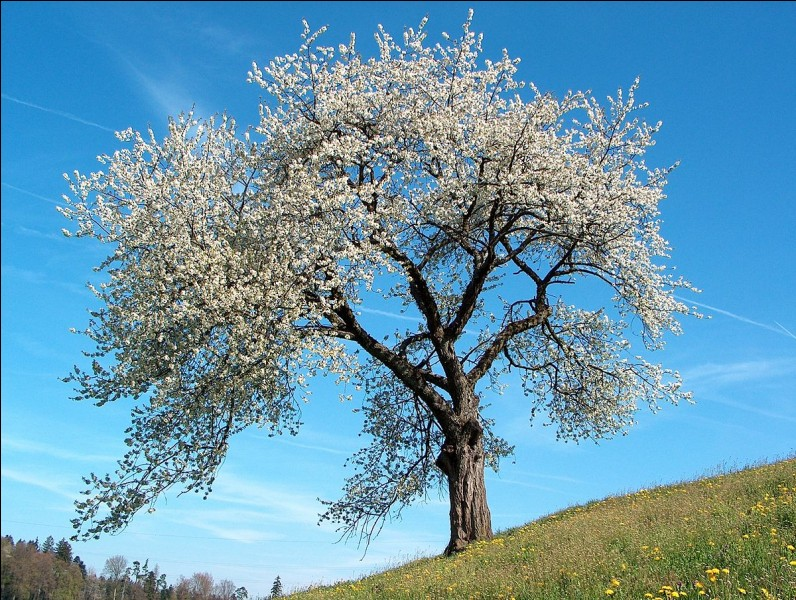 Quel est cet arbre fruitier ?