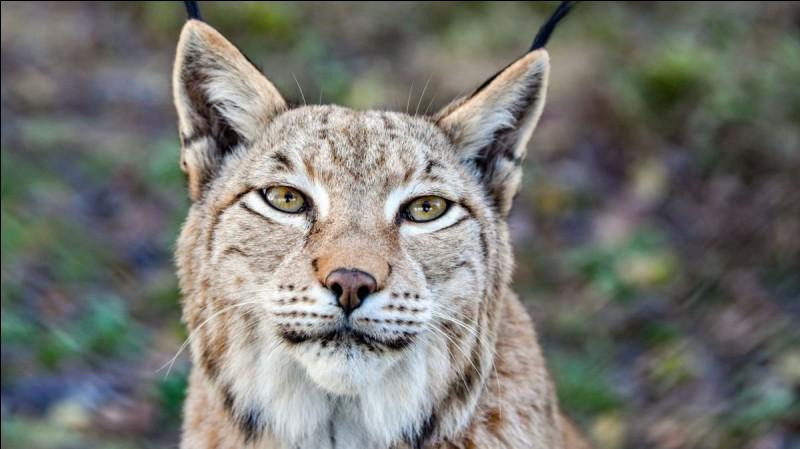 En France, le lynx est un animal protégé depuis...