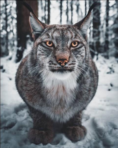 Le lynx vit ... en moyenne, selon les espèces.