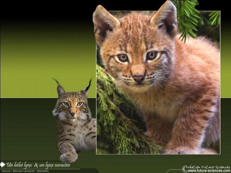 Les portées du lynx comptent...