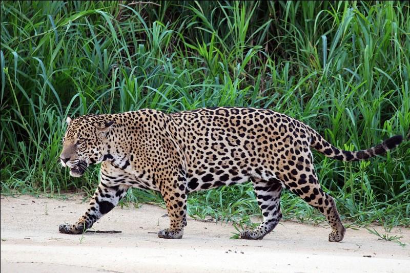 Le jaguar peut manger...