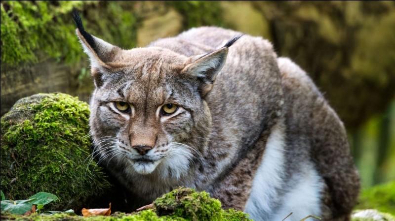 Le lynx appartient à l'ordre des carnivores et à la famille des...