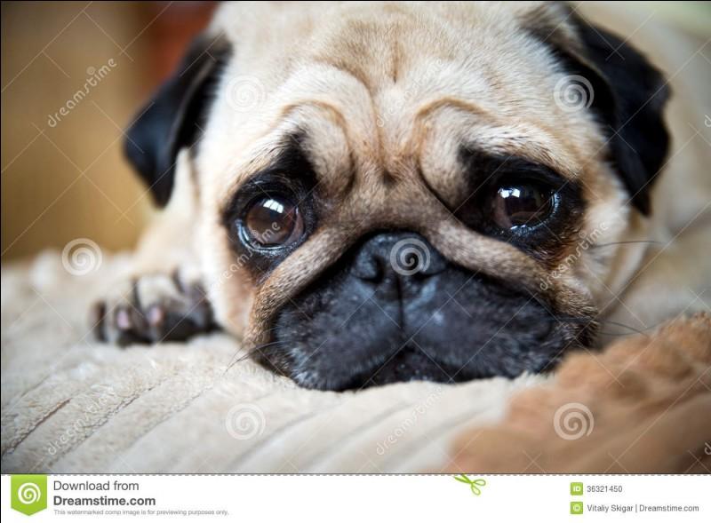Connais-tu cette race de chiens ?