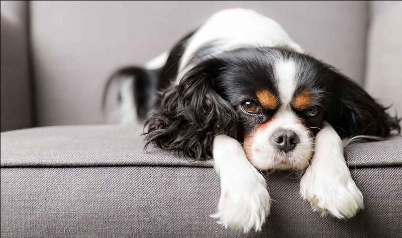 Les races de chiens - niv. 1