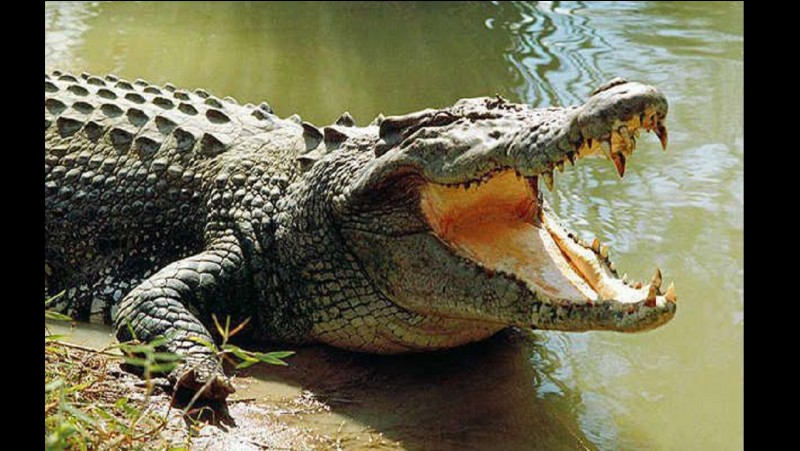 On dit que le crocodile ... quand il crie
