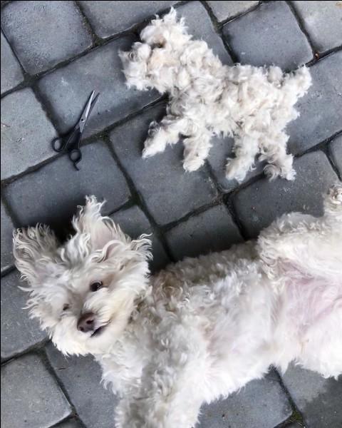 Flocon est un jeune chien de race chow-chow qui attend une nouvelle famille depuis plusieurs mois dans un refuge animalier. Quelle est à votre avis la cause de cet abandon ?