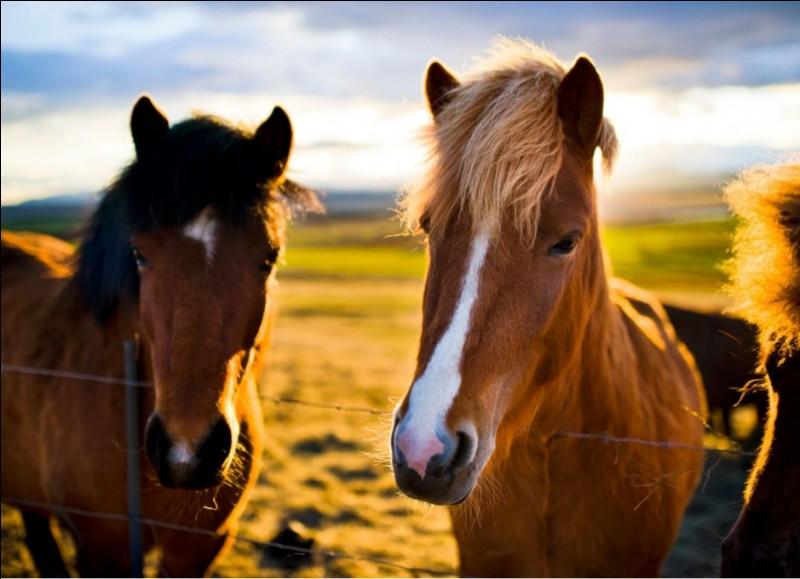 Quelle robe n'existe pas pour les chevaux ?