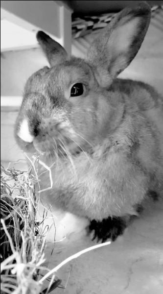 La gestion du calcium est plus importante chez le lapin ...
