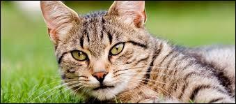 En anglais, le chat se dit 'cat'.