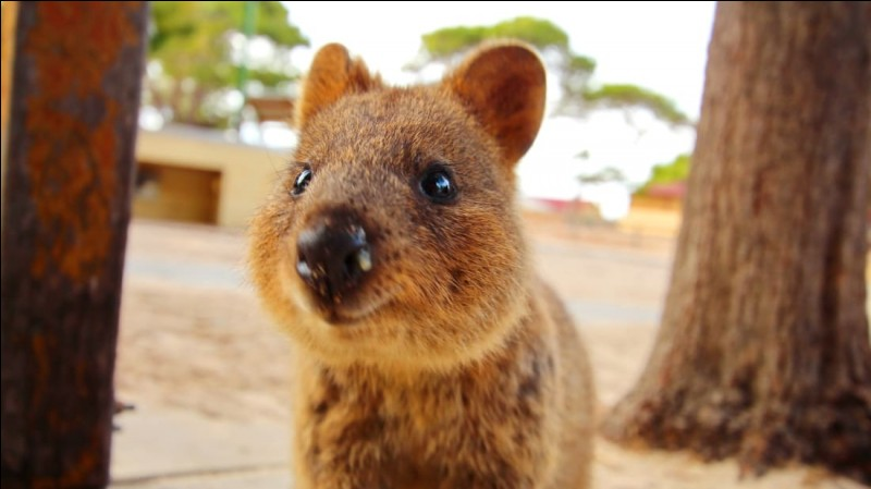 Le petit marsupial que nous apercevons ici se nomme...