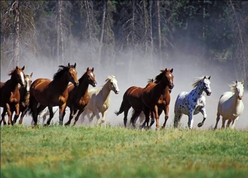 Quelle est la race de ces cheval ?