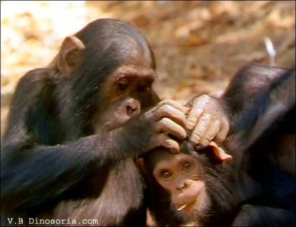 Il arrive fréquemment aux chimpanzés de manger les poux sur la tête d'un congénère.Coche les relations représentées sur cette image.