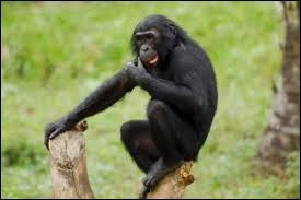 Quelle est la race de ce singe ?
