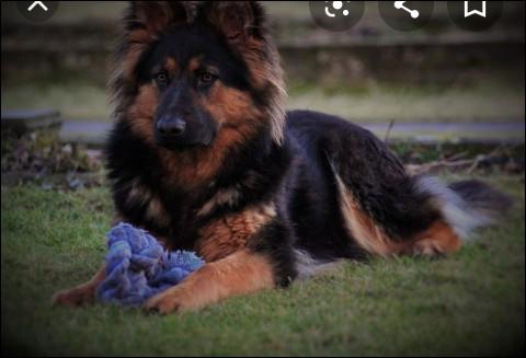 Cette race de chien, l'Altdeutscher Schäferhund, préfère....