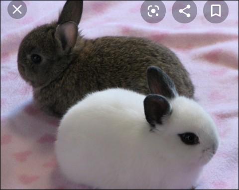 La taille du lapin nain est inférieure à