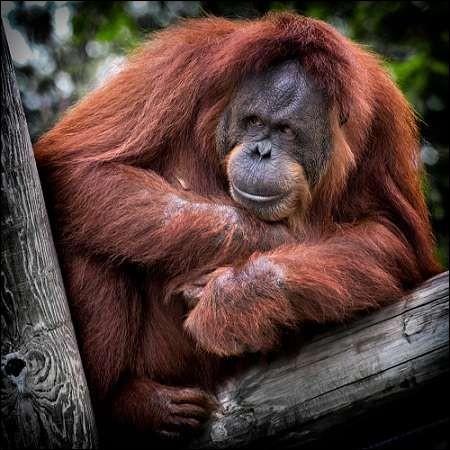 """La race du singe que nous apercevons ici se nomme """"chimpanzé""""."""
