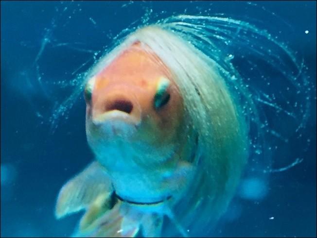 Comment se nomme le poisson rouge de Brice ?