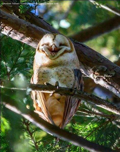 Cette photo de Kenneth-Tinkham, intitulée'' Laughing barn owl'', s'est mérité le ''Comedy Wildlife Photography Awards'' pour 2019. La mission de cet organisme est de sensibiliser les gens au sujet de la conservation des animaux. Le mécanisme en est subtil : nous faire rire pour que nous voulions conserver ce monde en vie.D'après moi, cet oiseau n'a pas d'aigrettes, alors c'est une…