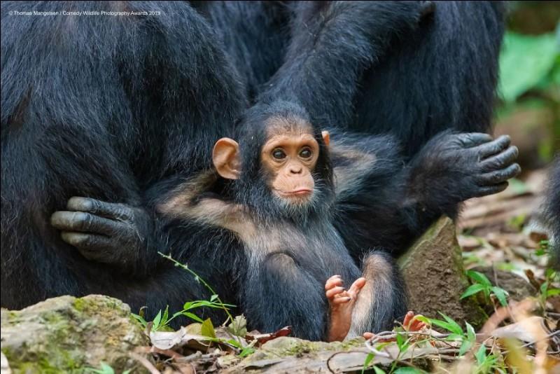 Thomas Mangelsen, photographe depuis 40 ans, est l'auteur de ce cliché, nommé ''Laid Back'', qui s'est mérité le '' Comedy Wildlife Photography'' pour 2019. Il s'agit d'un petit singe de Tanzanie, qu'ils ont nommé ''Gombe'' (du nom du parc) et qui semble dire : '' Moi, je reste calme''. Nommez cette espèce, en danger, dont il ne reste plus qu'entre 170,000 et 300,000 individus.