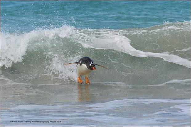 Photo étonnante d'un animal qui l'est autant : ne dirait-on pas qu'il pratique le surf ? Avec ce cliché, le photographe allemand depuis 30 ans, Elmar Weiss a gagné le ''Comedy Wildlife Photography Awards 2019''.Quel est le nom de cet oiseau du grand froid ?