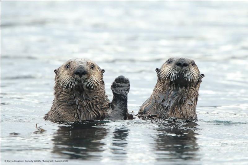 Avec ''Hi'', l'américaine Donna Bourdon s'est, elle aussi mérité le ''Comedy Wildlife Photography Awards'' pour 2019 : qui plus, avec cette photo prise en Alaska, elle a été votée comme photo de la semaine (juillet 2019) par National Geographic.Quel est l'animal qui nous a salué ?