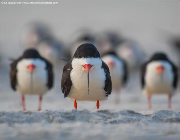 Cette photo de Ke Qiang Ruan, photographe américain, s'est mérité le Comedy Wildlife Photography Awards'' de 2018. Le bec, de ces oiseaux marins, élégants au vol, est formé : ''d'une mandibule inférieure plus longue que la supérieure, ce qui donne au volatile un air bizarre, lorsqu'il est fermé.'' Nommez cet oiseau qui semble dire : ''Je suis le chef, formez vos bataillons, en rangs serrés''.