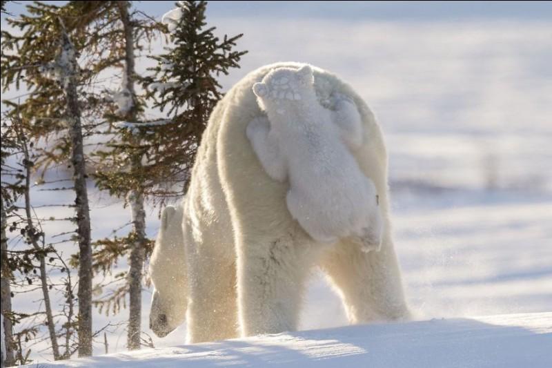 """Intitulée ''Hitching A Ride'', cela a pris 117 heures à Daisy Gilardini pour la prendre au Wapusk National Park du Manitoba. (The word """"Wapusk"""" means """"white bear"""" in Cree.) Photo gagnante du prix de la photographie humoristique pour la faune, ceci pour 2017. Quel est cet animal qui démontre une patience sans limite pour ses petits et dont le nombre va diminuant ?"""