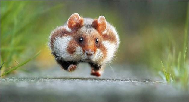 """Julian Rad a fait un fantastique travail auprès des petits animaux, ce qui lui a d'ailleurs permis de remporter le premier prix du « Comedy Wildlife Photography Awards » en 2015, ainsi 1ère Place à l'EuroNature """"Naturschätze Europas"""" de 2016 avec le cliché intitulé « rush hour », où le petit rongeur donne vraiment l'impression d'être en retard.Vous devez trouvez le nom du petit pressé."""