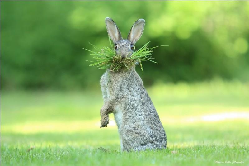 '' Quoi de neuf docteur ?'' Nous autres, en Amérique, on avait le commentaire suivant : ''Eh what's up, doc ?'' Répartie la plus célèbre de Bugs Bunny dans les Looney Tunes. De quelle espèce est l'animal sur la photo d'Olivier Colle qui s'est mérité le''Comedy Wildlife Photography Awards'' ?