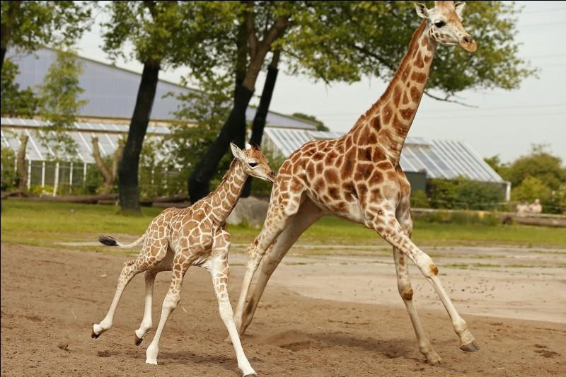 Animaux : Comment s'appelle le petit de la girafe ?