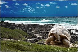 Cette tortue emblématique foule le sol...
