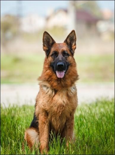 Combien y a-t-il de races de chiens populaires en France ?