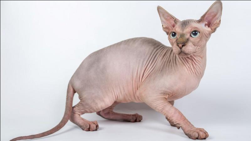 Comment s'appelle la race de chats sans poils ?