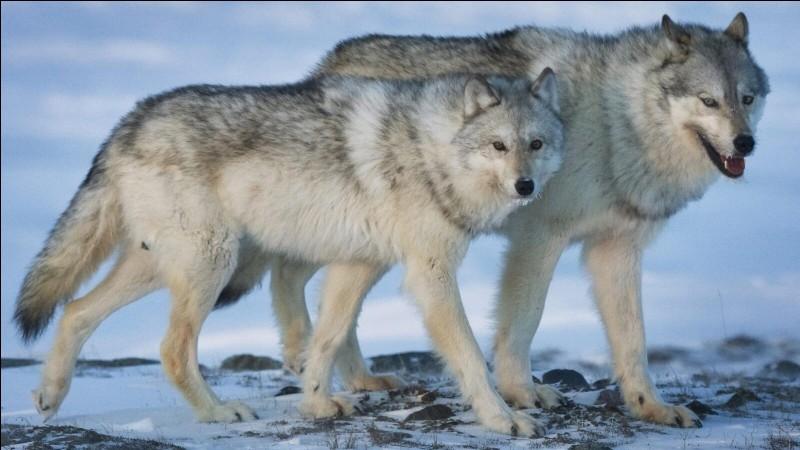 Combien de kilomètres par jour parcourt un loup ?