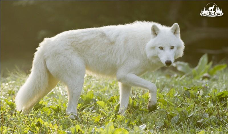 Le territoire d'un loup est d'environ ...