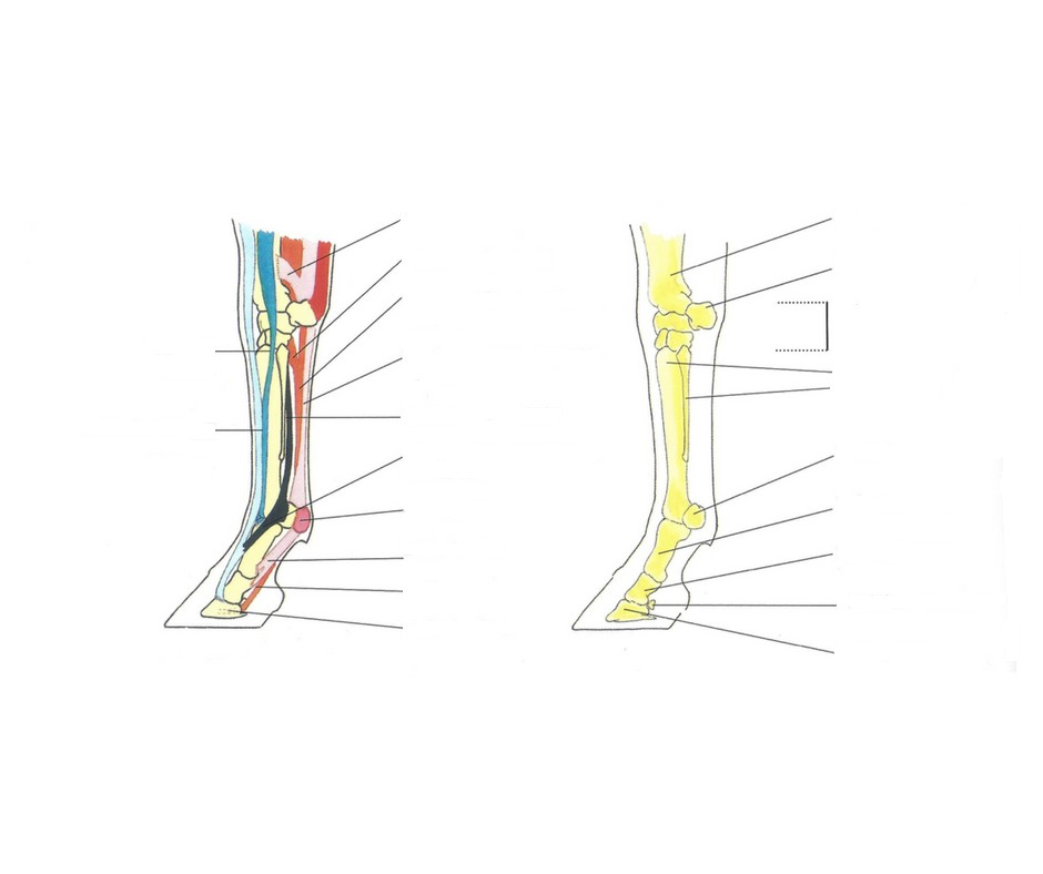Galop 5 - Tendons et ligaments