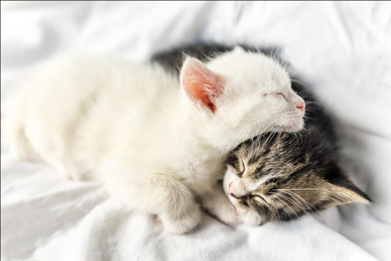 Le chaton est le bébé du :