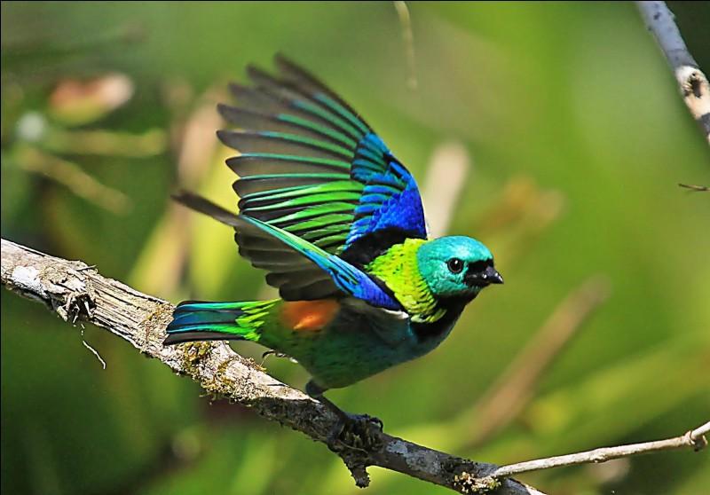 Quel est le nom de cet oiseau passereau d'Amérique du Sud ?