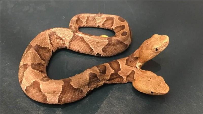 Quel est le vrai nom du serpent à lunettes ?