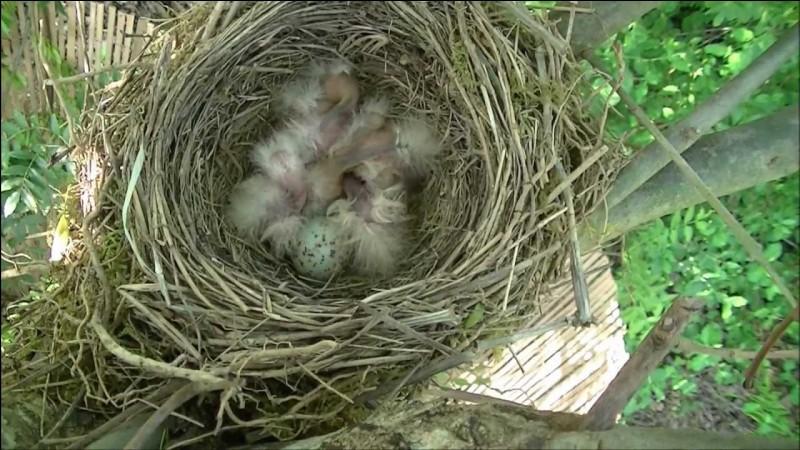 Combien d'œufs la femelle rouge-gorge pond-elle ?
