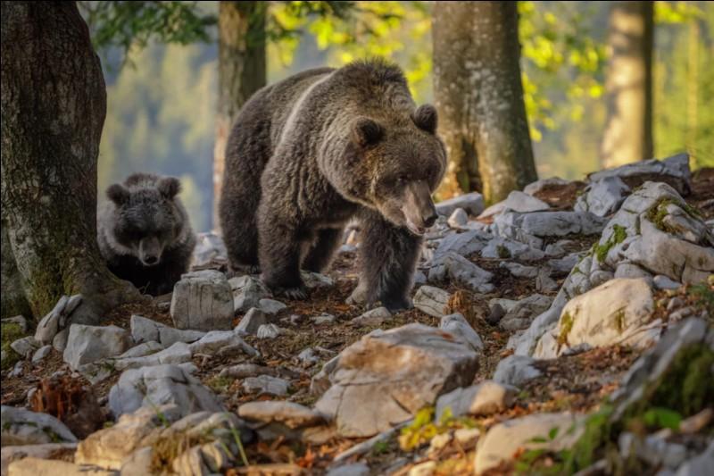 Que mangent les ours bruns ?