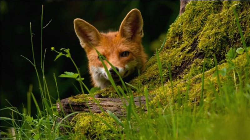 Où hiberne le renard ?
