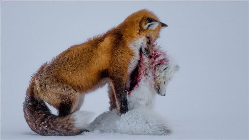 Que mange le renard ?