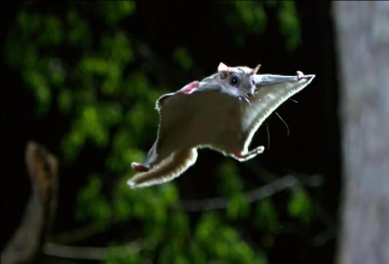 Existe-t-il des écureuil volants ?